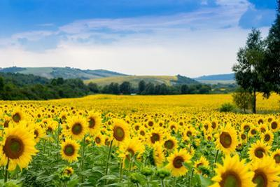 Sunflower Field by bazyuk