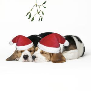 Beagle Dog Puppies Asleep, Wearing Christmas