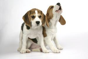 Beagle Puppies Sitting Down, One Howling