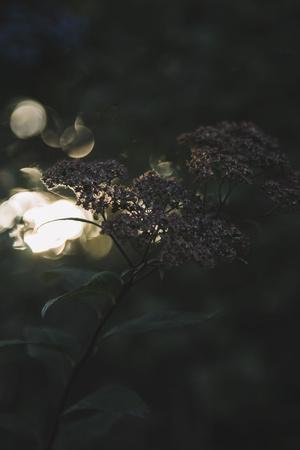 https://imgc.allpostersimages.com/img/posters/beams-of-setting-sun-break-through-the-leatherleaf-viburnum_u-L-Q1EXN240.jpg?artPerspective=n