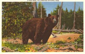 Bear, Yellowstone Park, Montana