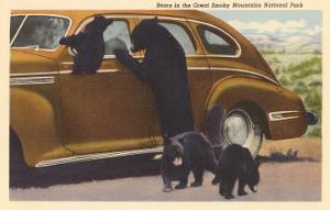 Bears at Car, Great Smoky Mountains