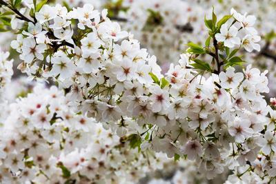 https://imgc.allpostersimages.com/img/posters/beautiful-cherry-blossom-in-full-bloom-in-tokyo-imperial-palace-east-gardens-tokyo-japan-asia_u-L-Q12R83S0.jpg?p=0
