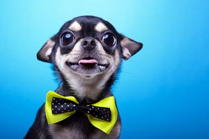 Beautiful Chihuahua Dog with Bow-Tie. Animal Portrait. Chihuahua Dog in Stylish Clothes. Blue Backg