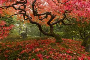 Beautiful Japanese Maple in the Fall