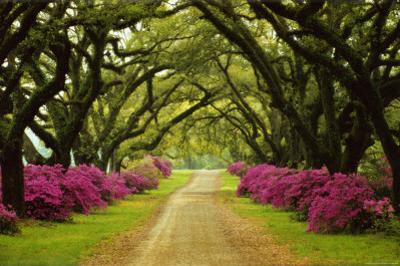 Beautiful Pathway Lined with Trees and Purple Azaleas