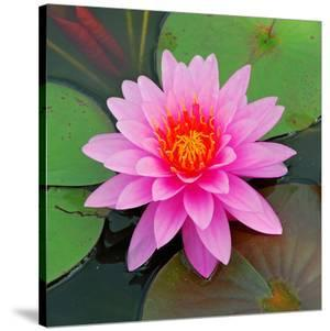 Beautiful Pink Lotus Flower