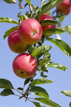 https://imgc.allpostersimages.com/img/posters/beautiful-red-apples-lafayette-new-york-usa_u-L-PN6VGP0.jpg?p=0