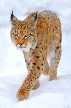 Beautiful Wild Lynx In Winter