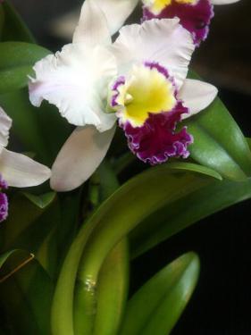 The Cattleya Orchid by Bebeto Matthews