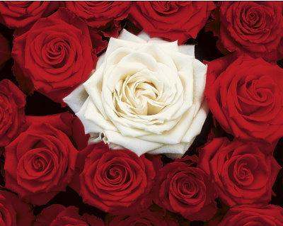 https://imgc.allpostersimages.com/img/posters/bed-of-roses-red-white-art-poster-print_u-L-F57QIR0.jpg?p=0