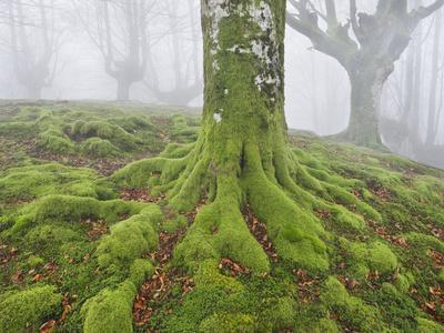 https://imgc.allpostersimages.com/img/posters/beech-forest-in-the-gorbea-nature-reserve-fog-moss-the-basque-provinces-spain_u-L-Q11YTGF0.jpg?p=0