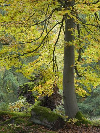 https://imgc.allpostersimages.com/img/posters/beech-kellerwald-edersee-national-park-paradies-kellerwald-hessia-germany_u-L-Q1EY23O0.jpg?artPerspective=n