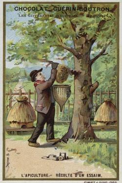 Beekeeping, Harvest of a Swarm