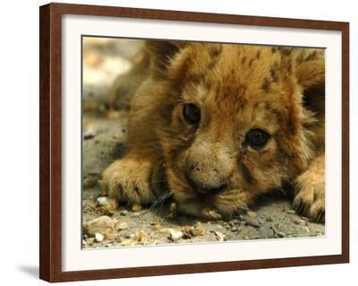 Lion Cub, Budapest, Hungary