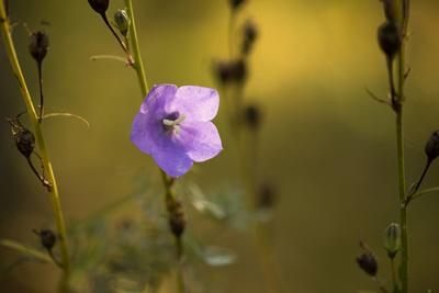 https://imgc.allpostersimages.com/img/posters/bellflower-campanula-rotundifolia-bath-in-autumn-sunlight_u-L-Q1EXY2U0.jpg?artPerspective=n