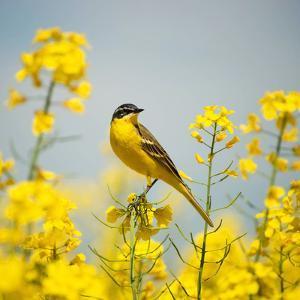 Bird in Yellow Flowers, Rapeseed by belu gheorghe
