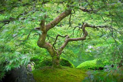 A Japanese Maple Shows Off its Summer Green Color at the Portland, Oregon Japanese Garden