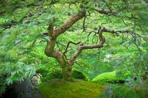 A Japanese Maple Shows Off its Summer Green Color at the Portland, Oregon Japanese Garden by Ben Coffman