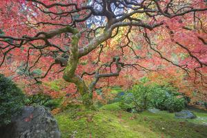 A Japanese Maple Turns Orange and Red at the Portland, Oregon Japanese Garden by Ben Coffman