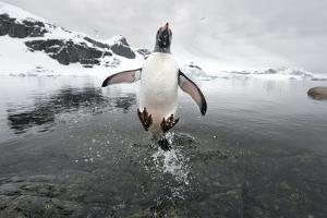 Gentoo Penguin (Pygoscelis Papua) Jumping Out of the Sea by Ben Cranke