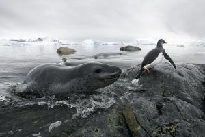 Leopard Seal (Hydrurga Leptonyx) Hunting Gentoo Penguin (Pygoscelis Papua) into Shore, Antarctica by Ben Cranke