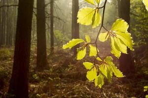 Beech Leaves (Fagus Sylvatica) Backlit at Dawn, the National Forest, Midlands, UK by Ben Hall