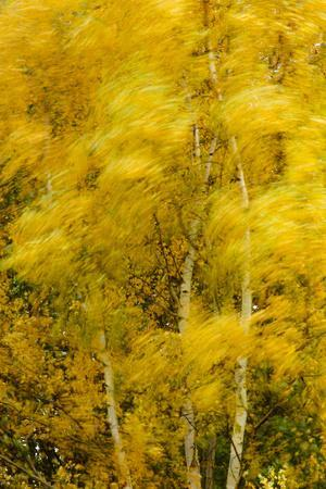 Birch Trees Blowing in High Winds, Long Exposure, Calke Abbey, the National Forest, England, UK