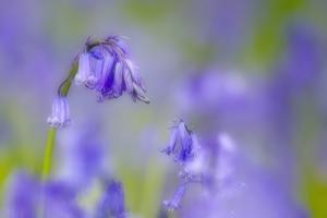 Bluebell Flower (Hyacinthoides Non-Scripta) Soft Focus , the National Forest, Midlands, UK, April by Ben Hall