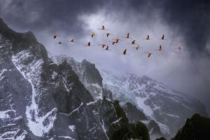 Chilean Flamingos (Phoenicopterus Chilensis) in Flight over Mountain Peaks, Chile by Ben Hall