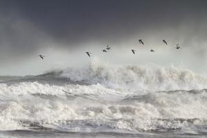 Curlews (Numenius Arquata) Group Flying over the Sea During Storm by Ben Hall
