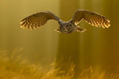 Eagle Owl (Bubo Bubo) in Flight Through Forest, Backlit at Dawn, Czech Republic, November. Captive