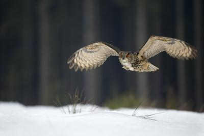 Eurasian Eagle Owl (Bubo Bubo) Flying Low over Snow Covered Grouns with Trees in Background