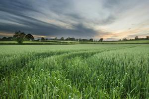 Farmland with Wheat Crop, Northern Ireland, UK, June 2011 by Ben Hall
