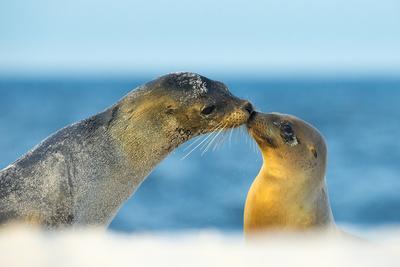 Galapagos Sea Lion (Zalophus Wollebaeki) Mother and Young Touching Noses, Galapagos Islands, May