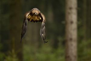 Golden Eagle (Aquila Chrysaetos) Flying Through Forest, Czech Republic, November. Captive by Ben Hall