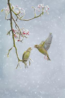 Greenfinch (Carduelis Chloris) Pair by Ben Hall