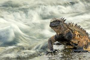 Marine Iguana (Amblyrhynchus Cristatus) on Rock Taken with Slow Shutter Speed to Show Motion by Ben Hall