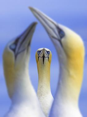 Northern Gannets (Morus - Sula Bassanus) Portrait Of Individual With A Courting Pair In Foreground by Ben Hall