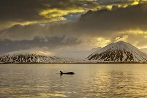 Orca (Orcinus Orca) Swimming in Sea Surrounded by Mountains at Sunset, Iceland, January by Ben Hall