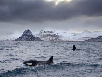 Orcas (Orcinus Orca) Pair in Sea Surrounded by Mountains, Iceland, January