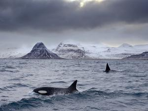 Orcas (Orcinus Orca) Pair in Sea Surrounded by Mountains, Iceland, January by Ben Hall