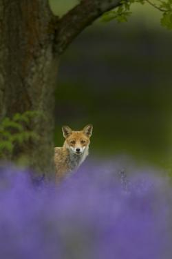Red Fox (Vulpes Vulpes) Peering from Behind Tree with Bluebells in Foreground, Cheshire, June by Ben Hall
