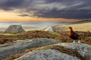 Red Grouse (Lagopus Lagopus Scoticus) on Heather Moorland, Peak District Np, UK, September by Ben Hall