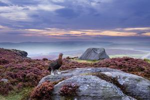 Red Grouse (Lagopus Lagopus Scoticus) on Heather Moorland, Peak District Np, UK by Ben Hall