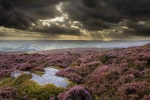 Scenic View of Moorland Habitat Showing Flowering Heather in Foreground, Peak District Np by Ben Hall