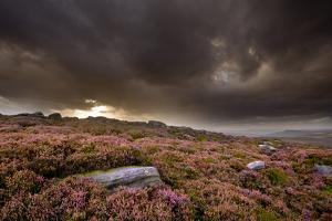Scenic View of Moorland Habitat with Flowering Heather, Peak District Np, August 2011 by Ben Hall