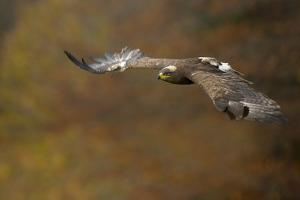 Steppe Eagle (Aquila Nipalensis) in Flight Against Autumn Colours, Czech Republic, November by Ben Hall