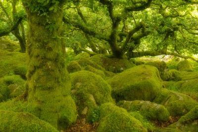 Stunted Oak Woodland Covered in Moss, Wistman's Wood, Devon, UK