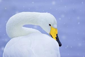 Whooper Swan (Cygnus Cygnus) in Snowfall. Martin Mere Wetlands Trust, Lancashire,Uk by Ben Hall